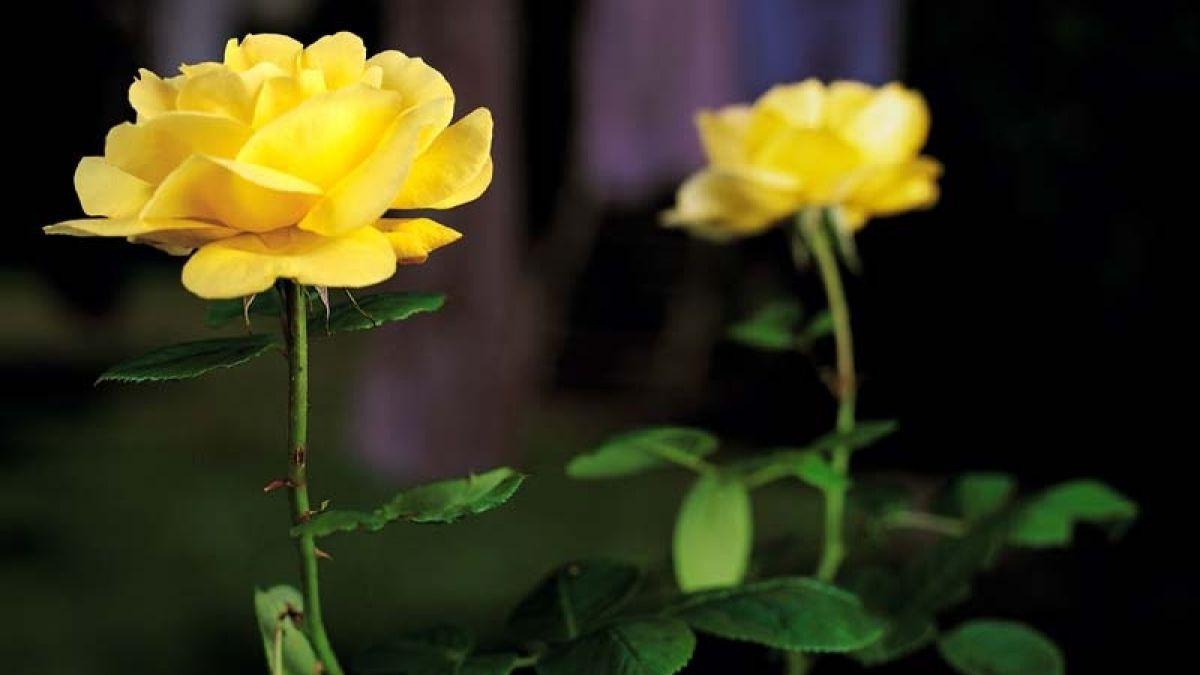 Yellow roses 2007