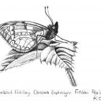 1 butterflypearl borderedfritillaryclossianaeuphrosyne kathleenoleary2016protectedspeciesdrawing