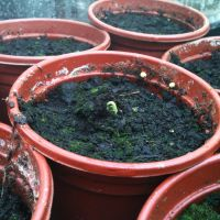 Dereks hibiscus sprout